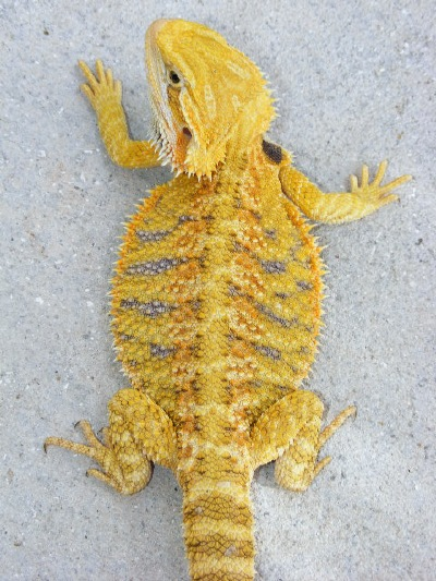 Citrus tiger bearded dragon - photo#28
